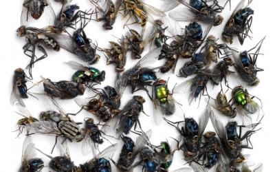 Les mouches #1 (vanité), 60x60cm, 2009
